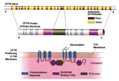CFTR ген, CFTR протеин и CFTR позициониране в клетъчната мембрана.