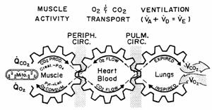 Механизъм на свързване на външното с вътрешното (клетъчно) дишане по време на натоварване (по Wasserman et al.6).