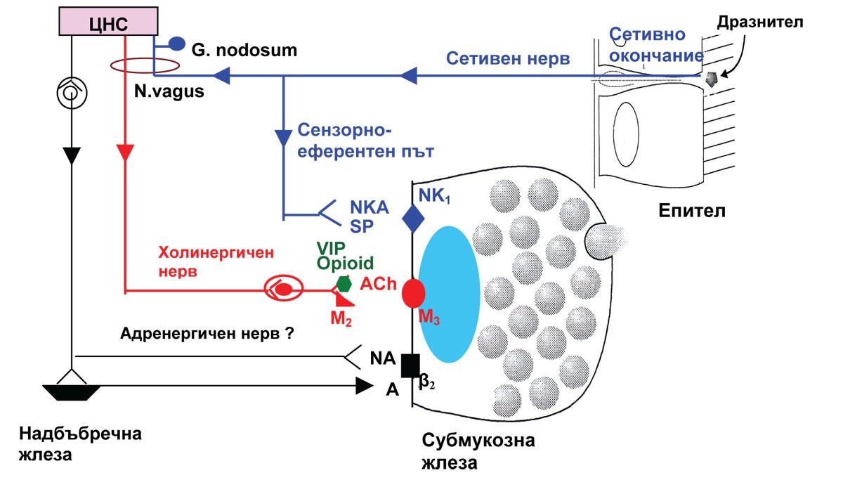 fig1-mukociliarna-sistema