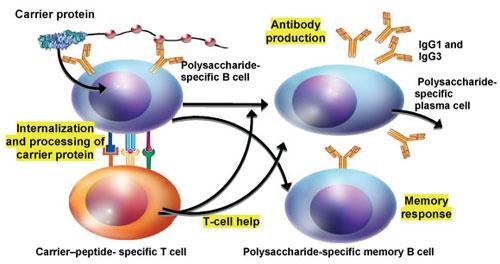 Фиг. 1. Имунология на конюгатните ваксини