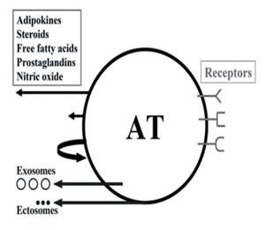 Фигура 3. Схематично представяне на адипозна тъкан (AT).