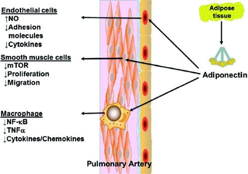 Фиг. 3. Схематично представяне на антивъзпалителни ефекти на адипонектин