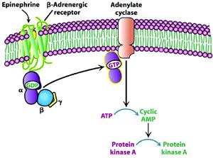 Фиг.2 Активиране на бета-2-адре- нергичния рецептор от адреналин.