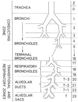 Фиг. 1. Структура на бронхиалното дърво (Weibel) 8