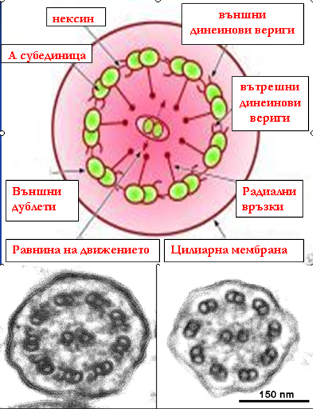 Immotile-fig1